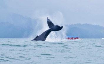 Llega la temporada de avistamiento de ballenas en Costa Rica